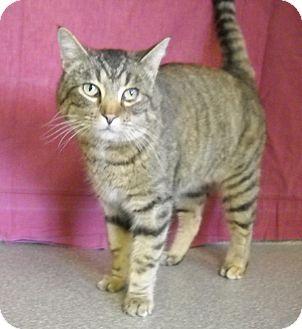 Domestic Shorthair Cat for adoption in Larned, Kansas - Quinn