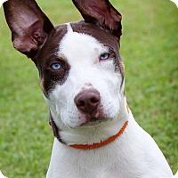 Adopt A Pet :: Frankie - Humble, TX