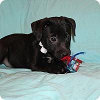 Labrador Retriever Mix Puppy for adoption in Southington, Connecticut - Jason (adopted)