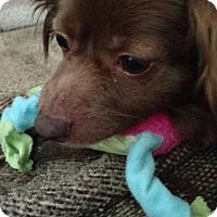 Pomeranian Mix Dog for adoption in Pennsauken, New Jersey - coco