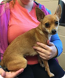 Chihuahua/Feist Mix Dog for adoption in Sparta, New Jersey - Nala