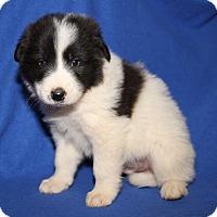 Adopt A Pet :: BM1 (Male) - Orland Park, IL