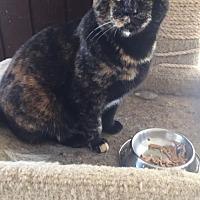 Domestic Mediumhair Cat for adoption in Thibodaux, Louisiana - Helen FE2-9065