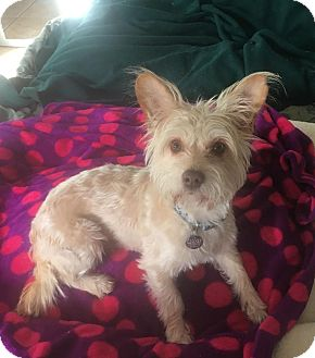 Terrier (Unknown Type, Medium) Mix Dog for adoption in Mesa, Arizona - MAX - 2 YEAR WESTIE MIX MALE
