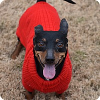 Miniature Pinscher/Dachshund Mix Dog for adoption in Rochester, New Hampshire - Gonzo