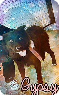 Border Collie Mix Dog for adoption in Odessa, Texas - Gypsy