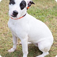 Adopt A Pet :: Dottie - Summerville, SC