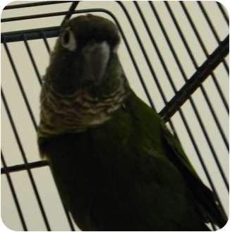 Conure for adoption in Punta Gorda, Florida - Bert Birdie