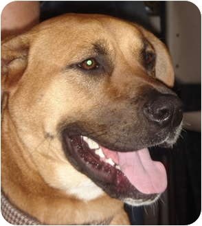 Akita/Boxer Mix Dog for adoption in Lake Forest, California - Leila