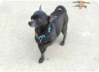 Chihuahua Dog for adoption in Dallas, Texas - Cody