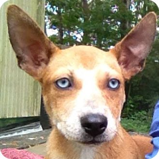 Husky Mix Dog for adoption in Waldorf, Maryland - Alfalfa