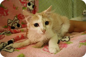 Domestic Longhair Kitten for adoption in Fountain Hills, Arizona - PEACHY