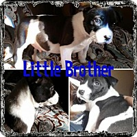 Adopt A Pet :: Little Brother - Bakersfield, CA