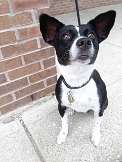 Cattle Dog/Jack Russell Terrier Mix Dog for adoption in Fishers, Indiana - Lil' Debbie
