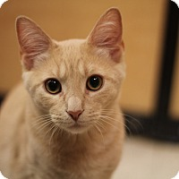 Adopt A Pet :: Emerson - Richmond, VA