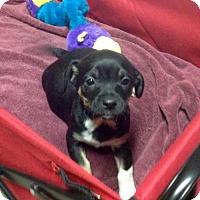 Adopt A Pet :: Little Elvis in Texarkana Texas - Texarkana, TX