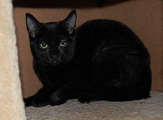Domestic Shorthair Cat for adoption in Brainardsville, New York - Lunar