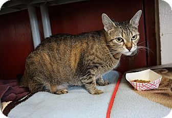 Domestic Shorthair Cat for adoption in Mt Vernon, New York - Spider - Bengal Mix