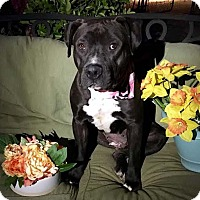 American Staffordshire Terrier Mix Dog for adoption in Toluca Lake, California - Enya