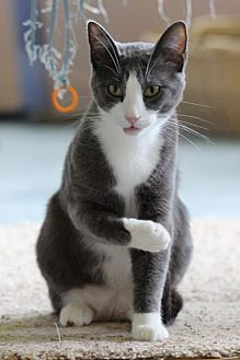 Domestic Shorthair Cat for adoption in Bardstown, Kentucky - Christian Grey
