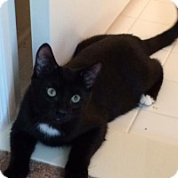 Domestic Shorthair Kitten for adoption in Taylor, Michigan - Ralph