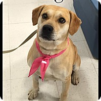 Adopt A Pet :: Ginger (reduced fee) - Spring Valley, NY