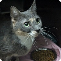 Domestic Shorthair Cat for adoption in Warwick, Rhode Island - Collette