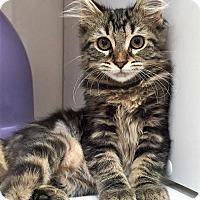 Maine Coon Kitten for adoption in Seal Beach, California - Kitten Clarice