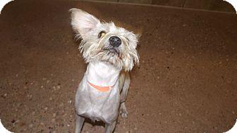 Schnauzer (Miniature) Mix Puppy for adoption in Appleton, Wisconsin - Scrappy Coco *Petsmart GB*