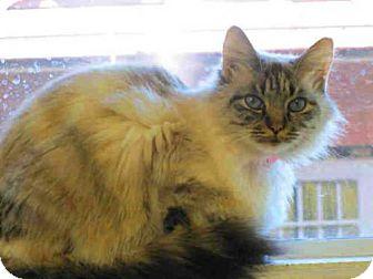 Birman Cat for adoption in Bonita, California - AMBROSIA