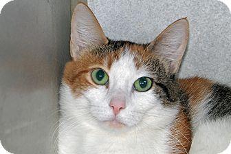 Calico Cat for adoption in Ruidoso, New Mexico - Essie