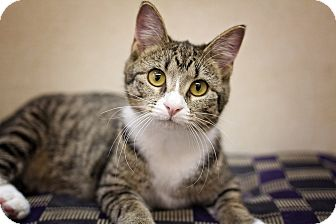 Domestic Shorthair Kitten for adoption in Sterling, Kansas - Flipper