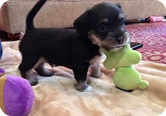 Terrier (Unknown Type, Medium) Mix Puppy for adoption in Providence, Rhode Island - Foster Macie's pup in TX
