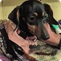 Adopt A Pet :: KHLOE1524 - Portland, OR