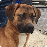 Boxer Mix Dog for adoption in Albany, New York - Chris