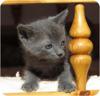 Domestic Shorthair Kitten for adoption in La Jolla, California - Skyy