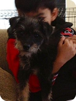 Terrier (Unknown Type, Small)/Terrier (Unknown Type, Small) Mix Puppy for adoption in Lake Forest, California - Minnie