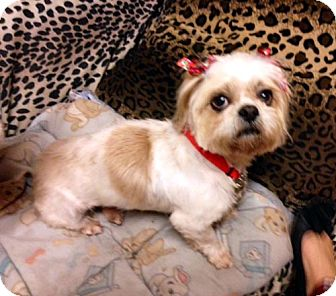 Shih Tzu Dog for adoption in Los Angeles, California - ELIZA