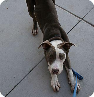 Great Dane/Pit Bull Terrier Mix Dog for adoption in Gilbert, Arizona - Larry