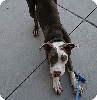 Great Dane/Pit Bull Terrier Mix Dog for adoption in Gilbert, Arizona
