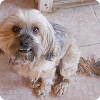 Adopt A Pet :: Mopsie - dewey, AZ
