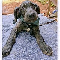 Adopt A Pet :: Benellie sweet big boy - Sacramento, CA