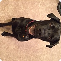 Adopt A Pet :: Holly - Spring Valley, NY