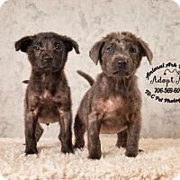 Adopt A Pet :: Bam Bam - Columbus, GA
