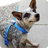 Adopt A Pet :: Annabell - ID#A337067 - Petaluma, CA