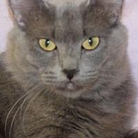 Domestic Mediumhair Cat for adoption in Savannah, Missouri - Kit
