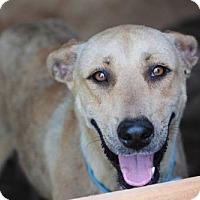 Adopt A Pet :: Candy - Sunnyvale, CA
