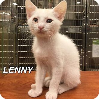 Domestic Shorthair Cat for adoption in Orlando, Florida - LENNY