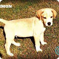 Adopt A Pet :: Simon - Kimberton, PA