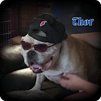Adopt A Pet :: Thor - Denver, NC